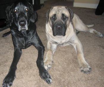 great dane and mastiff puppy