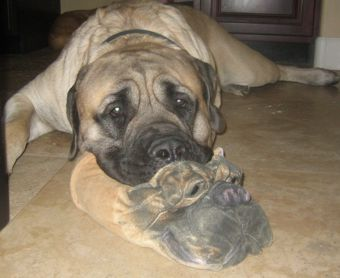mastiff puppy with slipper