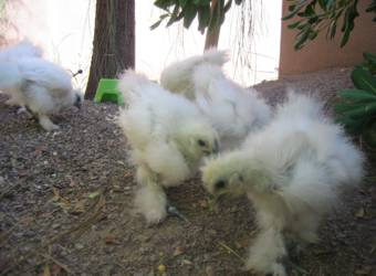 silkie chics