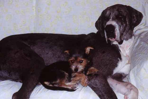 yorkie-chihuahua and great dane